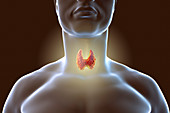 Thyroid gland in a man's neck, illustration