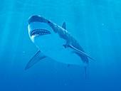 Shark swimming underwater, illustration