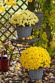 Chrysanthemum multiflora 'Kiwhite' 'Kiyellow' ( Herbstchrysanthemen )