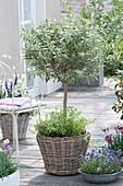 Olea europaea ( Olive ) Staemmchen unterpflanzt mit Origanum ( Oregano )