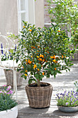 Fortunella japonica ( Kumquat ) im Korb