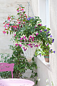 Fuchsia Bella Fuchsia 'Nora' 'Lydia' ( Fuchsien ) und Torenia