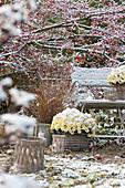 Der erste Schnee im Garten : Chrysanthemum multiflora