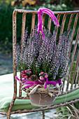 Calluna vulgaris Garden Girls 'Lisann' ( Knospenheide, Besenheide )