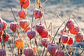 Gefrorene Fruchtstaende von Physalis alkekengi ( Lampionblume )