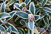 Skimmia 'Magic Marlot' ( Weißbunte Skimmie )