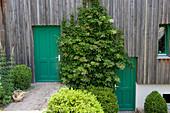 Hydrangea petiolaris ( Kletterhortensie ) an der schattigen Wand