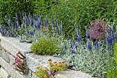 Trockenmauer mit Veronica spicata 'Silberteppich' ( Ehrenpreis )
