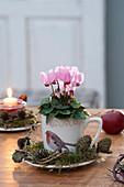 Cyclamen persicum ( Mini - Alpenveilchen ) in Tasse mit Vogelmotiv