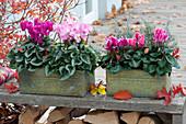 Blechkaesten bepflanzt mit Cyclamen persicum ( Alpenveilchen )