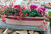 Cyclamen persicum ( Alpenveilchen ) und Gaultheria procumbens