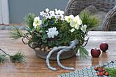 Helleborus niger ( Christrosen ) und Cyclamen persicum ( Alpenveilchen )