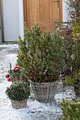 Pinus mugo mughus ( Bergkiefer, Krummholz-Kiefer ) unterpflanzt