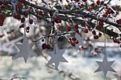 Silberne Sterne an Malus ( Zierapfelbaum ) mit Fruechten