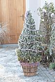 Picea glauca 'Conica' ( Zuckerhutfichte ) als Weihnachtsbaum