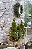 Holzkasten mit Picea glauca 'Conica' ( Zuckerhutfichten ) mit Lichterketten