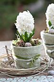 Hyacinthus orientalis 'White Pearl' ( Hyazinthe ) in Topf mit Filzverkleidun