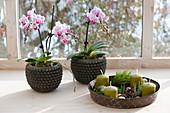 Toepfe mit Phalaenopsis ( Malayenblumen, Schmetterlingsorchideen )