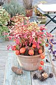Leucothoe walteri ( Traubenheide, Traubenmyrte ) dekoriert mit Zapfen