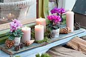 Adventsdeko mit Cyclamen persicum ( Alpenveilchen ), 4 Kerzen