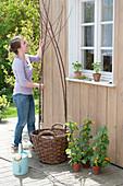 Schwarzaeugige Susanne in Korb mit Rankhilfe einpflanzen :