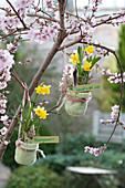 Narcissus 'Tete a Tete' ( Narzissen ) in kleinen Filztöpfen an Baum gehängt
