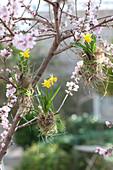 Narcissus 'Tete a Tete' ( Narzissen ), Zwiebeln mit Heu umwickelt