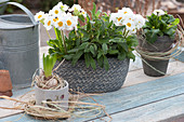 Primula elatior Crescendo 'White' ( Primeln ), Salvia officinalis ( Salbei )
