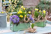 Alte Schubladen mit Frühlings-Bepflanzung : Narcissus 'Tete a Tete'