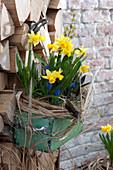 Alte Schublade bepflanzt mit Narcissus 'Tete a Tete' ( Narzissen )