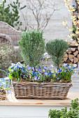 Korbkasten mit Kräuter-Stämmchen und blauen Frühlingsblühern :
