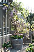 Wisteria sinensis ( Blauregen ) in Holzfaß auf Kiesterrasse, Tulipa ( Tulpen )