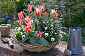 Tulipa greigii 'Czaar Peter' ( Tulpen ), Salvia officinalis 'Purpurascens'