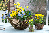 Blau-gelb bepflanzter Weidenkorb : Primula ( Primeln ), Muscari armeniacum