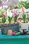 Hyacinthus orientalis ( Hyazinthen ) in Topf und Metall-Jardiniere