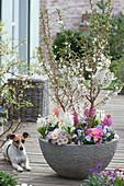 Prunus incisa 'Kojou-no-mai' ( Zierkirsche, März-Kirsche ) unterpflanzt