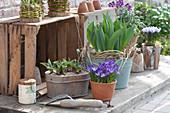 Crocus tommasinianus 'Whitewell Purple' ( Elfenkrokus ), Tulipa ( Tulpen )