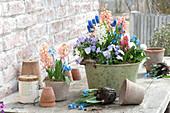 Hyacinthus ( Hyazinthen ), Viola cornuta 'Lavender Blush' ( Hornveilchen )