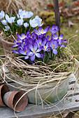 Crocus tommasinianus 'Whitewell Purple' ( Elfenkrokus )