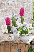 Hyacinthus 'Jan Bos' ( Hyazinthen ), Viola cornuta 'Lavender Blush'
