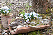 Crocus chrysanthus 'Blue Pearl' ( Botanische Krokusse ) auf Terracotta