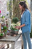 Frau bepflanzt Korbkasten mit Primula ( Primeln ), Thymus vulgaris