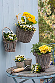 Wandkörbe mit Primula elatior Crescendo 'Yellow' ( Primel ) und Viola