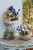 Viola cornuta 'Lavender Blush' ( Hornveilchen ), Crocus vernus 'Striped Beauty'