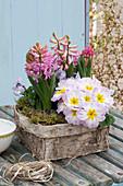Primula acaulis ( Primel ), Hyacinthus 'Pink Pearl' ( Hyazinthen )