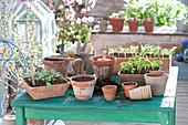 Aussaat - Stil : Terracotta-Kästen mit Sämlingen von Brassica