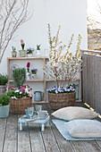 Frühlingsbalkon mit Prunus incisa 'Kojou-no-mai' ( Zierkirsche, März-Kirsche