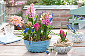 Hyacinthus 'Pink Pearl' 'Gipsy Queen' 'Jan Bos' ( Hyazinthen ) und Muscari