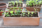 Sämlinge von Brassica - Brokkoli links, Weißkraut rechts in Terracotta