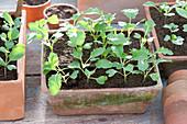 Sämlinge von Brassica - Kohlrabi in Terracotta-Schale